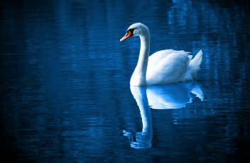 beautiful-16736_1920 swan